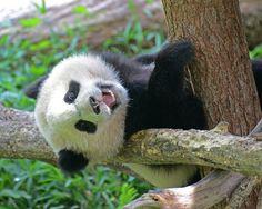 Bao Bao, 07/27/14: Everyone See My Baby Teeth? | Flickr - Photo Sharing!