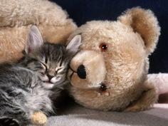 Norwegian Forest Kitten Asleep with Teddy Bear
