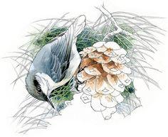 Pygmy Nuthatch bird art wildlife art nature by RobManciniImages