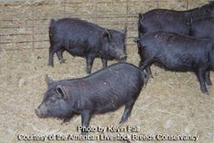 American Guinea Hog - small - expected to forage for their own food - hardy and resistant - eat snakes and keep chicken eggs and house safe - also Mulefoot Tamworth and Old Spot (other options) Tamworth, Work With Animals, Small Animals, Pig Breeds, Backyard Farmer, Pig Pen, Birds And The Bees, Chicken Eggs, Livestock
