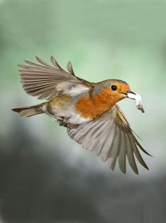 European Robin, wings, feathers, bird, Rødhals, Rødkælk, cute, nuttet, flying, beauty, photo