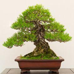 Black Pine, BIB 14th Annual Exhibit - Dupuich's Photos