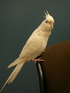 Cockatiel - white I want her Cockatiel, Parrots, Beautiful Birds, Retirement, Club, My Favorite Things, Sweet, Animals, Nymphs