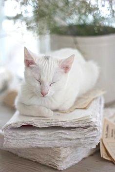 White cottage cat