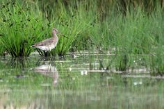 Marievale Bird Sanctuary in South Africa | Black-tailed Godwit « Bird & Wildlife Photography by Richard and ...