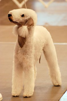 Bedlington Terrier in show trim. Best Dog Breeds, Small Dog Breeds, Cat Breeds, Pet Dogs, Dogs And Puppies, Dog Cat, Pets, Doggies, Poodle Grooming