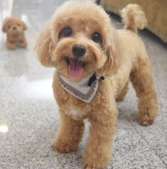 (11May16) Be so happy that when others look at you they become happy too!❤️Hope everyone has a happy Wednesday! #dog#instadog#maltipoo#poodle#toypoodle#poodleclubsg#sgpet#happydogs#cutedog#instagood#instapuppy#instapet#ilovemydog#ワンコ#犬#개#푸들#いぬ #barkhappy#puppylove #puppiesforall#bestwoof#doggie#adorablepuppies#petmagazinesg#petstagram instagramdogs #furbaby #furball#lacyandpaws