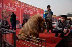 Le nouveau chien de luxe à 1 million de dollars vient du Tibet