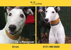 Arran at Dogs Trust Merseyside is guilty of being the happiest dog on earth! Every day is a joy for him and he loves everyone and everything. His racing days are long behind him and he's looking forward to bringing his awesomeness into your life instead. Dogs Trust, Arran, Happy Dogs, Dog Pictures, Animal Kingdom, Pup, Adoption, Bring It On, Racing