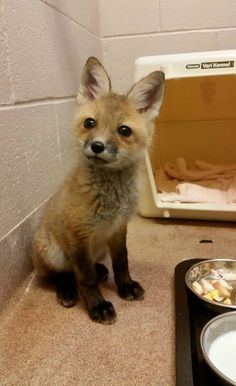 Buttonwood Park Zoo, in New Bedford, Mass., is now home to a 9-week-old blind, orphaned Red Fox kit, named Piper. Check out ZooBorns to see more and learn more! http://www.zooborns.com/zooborns/2015/06/blind-orphaned-red-fox-kit-at-buttonwood-park-zoo.html