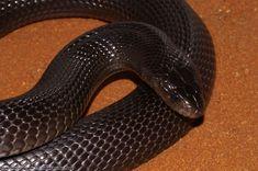 (Walterinnesia aegyptia)Desert cobra /Desert Black Snake