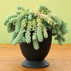 Burro's Tail (Sedum morganianum). Leaves drop off easily so you can pot them to start new plants. Prefers bright light.