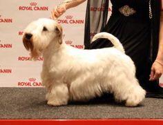 Sealyham Terrier - FI CH HeW-12 HeJW-12 JW-12 LTJW-13 PMW-13 Attention It's Attimo of Cesky Dream's | chwibanoglwr.com
