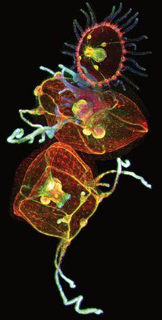 Jellyfish, viewed with ZEISS Lightsheet Z.1 microscope Helena Parra, Pompeu Fabra University, Spain