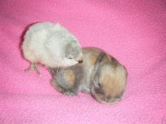 baby holland lop - Google Search