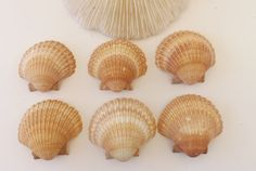 Large Arch Scallop Shells