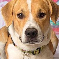Gilbert, Arizona - Foxhound. Meet Rover, a for adoption. https://www.adoptapet.com/pet/19998363-gilbert-arizona-foxhound-mix