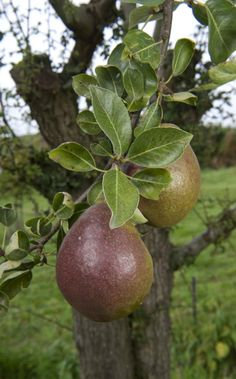 Black Worcester pear grafted onto a blackthorn bush to create EDIBLE HEDGEROWS Variety Of Fruits, Delicious Fruit, Worcester, Edible Garden, Hedges, Fruits And Vegetables, Permaculture, Pomegranates, Allotment
