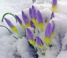Crocus in the snow. Thank you, P Allen Smith