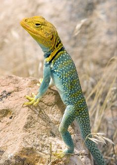 Yellow-headed Collared Lizard (Crolaphytus collaris auriceps) Southwest United States Reptiles Et Amphibiens, Cute Reptiles, Mammals, Animals Of The World, Animals And Pets, Cute Animals, Turtle Reptile, Interesting Animals, Exotic Pets