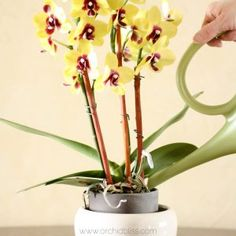 How to Water Orchids: Find out properly water your orchids Knowing when and how to water is the most important key to being a successful orchid grower. This article unlocks effective techniques on how to water orchids. Phalaenopsis Orchid Care, Orchid Plant Care, Moth Orchid, Orchid Plants, Potted Plants, Air Plants, Orchids In Water, Indoor Orchids, Orchids Garden