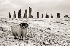 A blackface ram standing before the Callanish Stones. Photo by Donald Macleod.