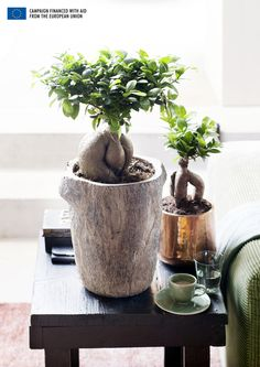Have you heard of the Ficus Ginseng plant? Yesterday while getting distracted from work, I read that this native Asian bonsai . Ficus Ginseng Bonsai, Ginseng Plant, Ficus Microcarpa, Summer Plants, Green Plants, Indoor Garden, Indoor Plants, Trees To Plant, Plant Leaves