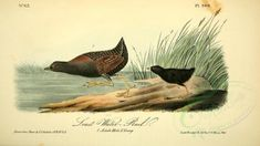 Birds of America 1844 Least Water Rail Poster Print by J. Audubon x Birds Of America, Used Books, Vivid Colors, Orchids, Poster Prints, Royalty, Victorian, Floral, Illustration