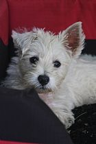 West Highland White Terrier Puppies for Sale, Australia West Highland White, Terrier Puppies, White Terrier, Westies, Puppies For Sale, Dog Breeds, Australia, Pure Products, Dogs