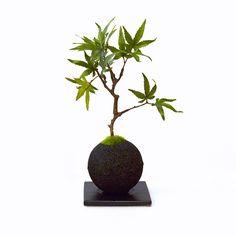 盆栽 bonsai  竹炭 紅葉 もみじ /  カップボンcupbon