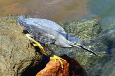Striated Heron - Butorides striatus . Inhabits mostly mangroves.  Nests in mangroves.  Located North western, northern and east coasts of Australia.Photograph By Paul Ross #BirdsPhotography