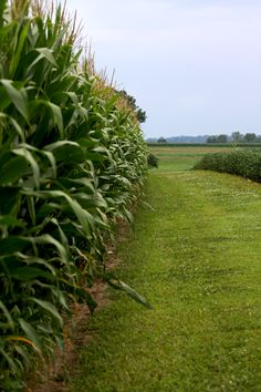 Corn and soybeans side-by-side