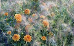 Orange dahlias combined with the soft seedheads of the grass Hordeum jubatum.