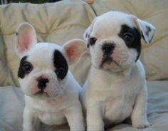 Bull dog francés (mi próximo perro)