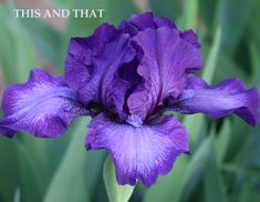 Iris THIS AND THAT – Stout Gardens at Dancingtree