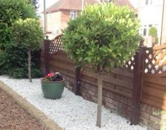 Expert advice on bay tree care in easy to understand language. When and how to prune, how to deal with brown leaves and lots more practical bay tree advice and pictures. Bay Tree Care, Bay Laurel Tree, Bay Trees, Garden Makeover, Flower Pots, Flowers, Replant, Herbs, Outdoor Structures