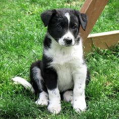 Farm collie/Farm Shepherd dog photo | Choosing Collie and Shepherd Crosses : Puppies for Sale : Dogs for ...