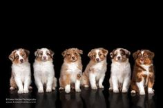 Australian Shepherd Puppies all Red Merles and Red Tri