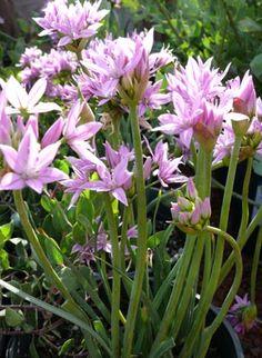 allium_unifolium