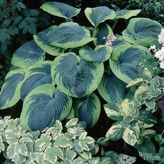 'Frances Williams' is a remarkable hosta that features huge blue-green foliage irregularly edged in chartreuse. The leaves have a great puckered texture and thick substance, so the plant looks great even at the end of the season. Blue Hosta, Hosta Plants, Shade Plants, Houseplants, Lavender Flowers, Purple Flowers, Elegant Flowers, Beautiful Flowers, Backyard Farming