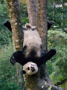 Silly panda!