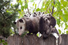 Mother possum carrying around six baby possums on her back. - Earth Porn