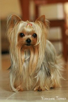 """35 Yorkshire Terrier """"Yorkie"""" Puppies You Will Love - All Dogs Get Their Wings :) - Yorkies, Yorkie Puppy, Teacup Yorkie, Yorky Terrier, Yorshire Terrier, Yorkshire Terrier Haircut, Yorkshire Terrier Puppies, Lap Dogs, Dogs And Puppies"""
