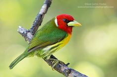 Red-headed Barbet by Juan Carlos Vindas, via 500px