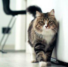 The King: Loki. I gatti di Siberiani di Grande Inverno Siberian Cat, Grande, Winter Time, Animaux, Cats