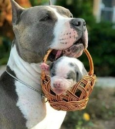 Uplifting So You Want A American Pit Bull Terrier Ideas. Fabulous So You Want A American Pit Bull Terrier Ideas. Cute Little Animals, Cute Funny Animals, Funny Dogs, Baby Animals Pictures, Cute Animal Photos, Animals Dog, Cute Puppies, Cute Dogs, Dogs And Puppies