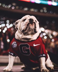 Go Bulldogs! Beat the Fighting Irish! Georgia Bulldogs Cake, Georgia Bulldog Mascot, Georgia Bulldogs Football, Uga Bulldog, Georgia Wallpaper, Bulldog Wallpaper, Georgia Girls, University Of Georgia, Pets