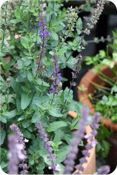 Blütensalbei, eine Pracht als Hummel- und Bienenweide | Arthurs Tochter Kocht von Astrid Paul