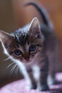 big eyes #kittens