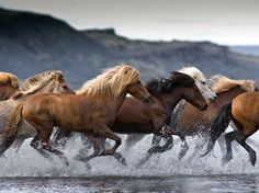 Icelandic Horses. Photo by  Tina Thuell. Big-photography.com.